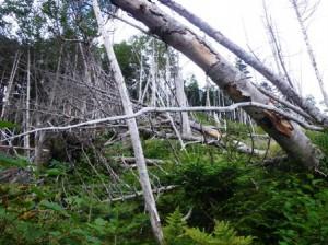 標高2,330mの倒木帯