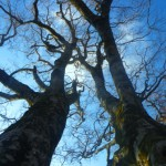 中東山のブナの木