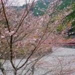 別府の冬桜