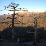 立ち枯れの木々たち