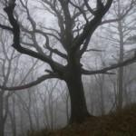 霧にかすむブナの木