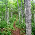 ブナ林の下山道