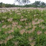 第一花畑のチングルマ