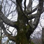横に枝を張るブナ
