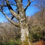 登山道脇のブナの大木