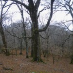 御池先のブナ林