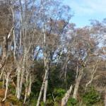 1,310m峰のブナ林